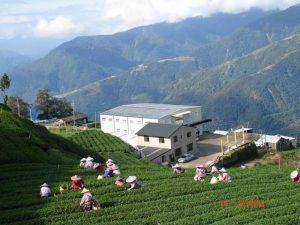 Harvesting High Mountain Tea - Li Shan (Pear Mountain) Taiwan (2200m (7,200 ft)